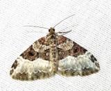 Epirrhoe alternata (Mueller) - 7394E - White-banded Toothed Carpet
