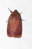 Orthodes cynica - 10587 - Cynical Quaker