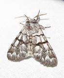 Panthea furcilla - 9182 - Eastern Panthea