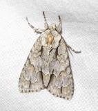 Acronicta laetifica - 9227 - Pleasant Dagger Moth