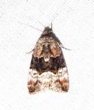 Elaphria georgei - 9680 - George's Midget