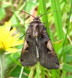 Xestia dolosa - 10942.1 - Black-letter Dart Moth
