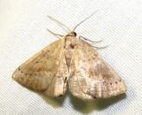 Tacparia atropunctata - 6806