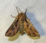 Lacanobia nevadae - 10296 - Nevada Arches Moth
