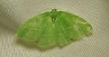 Nemoria mimosaria - 7048 - White-Fringed Emerald
