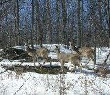 White-tailed Deer trio - Odocoileus virginianus