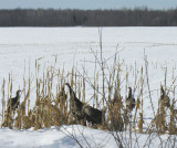 Wild Turkeys (Meleagris gallopavo) in cornfield - view 1
