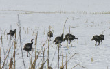 Wild Turkeys (Meleagris gallopavo) in cornfield - view 2