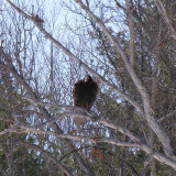 Turkey Vulture on White Oak tree