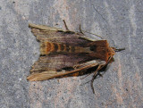 Xylena curvimacula - 9874 - Dot-and-dash Swordgrass moth