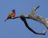 Painted Bunting-1