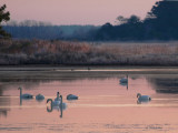 Swans in Paradise-1