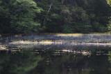Bladderwort On Combahee Swamp
