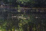 Bladderwort on Combahee Swamp 2