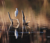 Egret at Rest on Cypress Perch