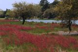 Red Spring Grasses