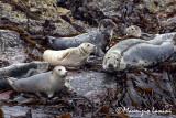 Foche grigie , Grey seals