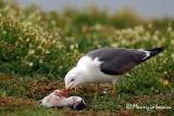 Gabbiano reale nordico , Yellow-legged gull