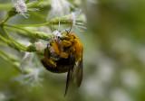 Carpenter bee (Xylocopa)