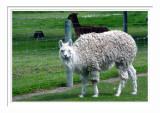 Ashburton Alpaca