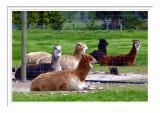 A Group Of Alpacas