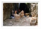 Poultries