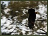 28 MAR 08 MALE EAGLE