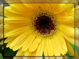 08 MAY 08 SUNSHINE IN A FLOWER POT