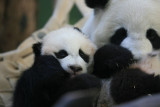 Lun Lun - 12 year old female and new cub Xi Lan