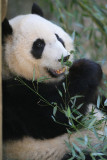 Mei Lan - 2 year old female