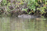 Crocodile in Belize