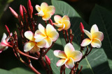 Plumeria in Belize