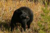 Black Bear in Kootenay National Park