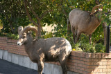 Bighorn Rams in the town of Radium Hot Springs
