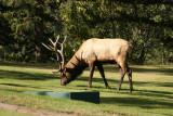 Bull Elk at the Fairmont Jasper Park Lodge