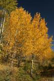 Aspens in Jasper National Park
