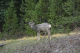Mule Deer in Jasper National Park