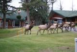Bull Elk & his harem at the Fairmont Jasper Park Lodge