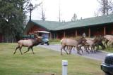 Bull Elk and his harem at the Fairmont Jasper Park Lodge
