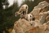 Bighorn Sheep in Jasper National Park
