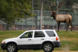 Bull Elk and tourist at the Fairmont Jasper Park Lodge