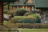 Elk in the Fairmont Jasper Park Lodge