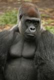 Gorilla (Animal Kingdom)