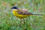 (Ashy-headed) Yellow Wagtail (Motacilla flava cinereocapilla)