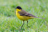 Black-headed Ywllow Wagtail (Motacilla flava ssp feldegg)