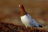 Willow Grouse (Pernice bianca nordica)