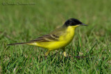 Black-headed Yellow Wagtail (Motacilla flava ssp feldegg)