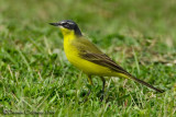 Yellow Wagtail (Motacilla flava ssp or morph?? Not a superciliaris, because of the bluish cast to the head ..)