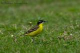Black-headed Wagtail (Motacilla flava ssp feldegg 'superciliaris')