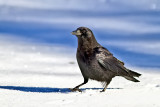 Black Crow in Snow